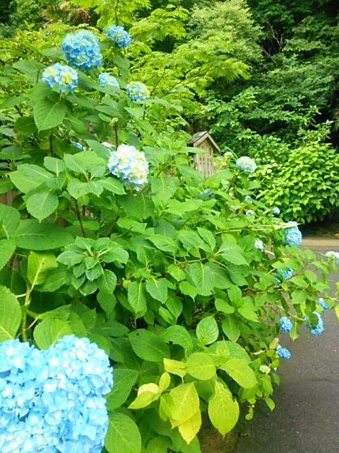 季節を楽しむ。6月の北鎌倉も季節感満載です。
